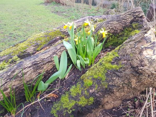 narcissen groeien in een boom